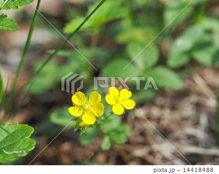 ヘビイチゴの花 14418488
