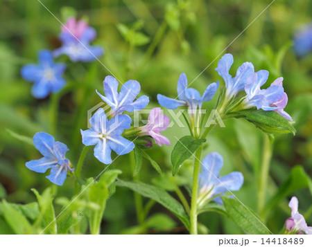 ホタルカズラの花 14418489