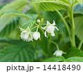 ラズベリーの花 14418490