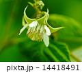 ラズベリーの花 14418491