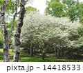 コナシの花 14418533