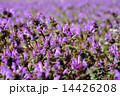 ホトケノザ 群生 満開の写真 14426208