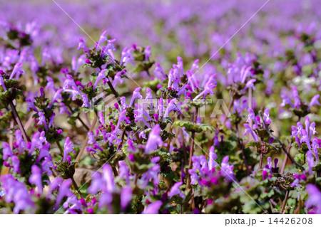 ホトケノザ 仏の座 春の草花 14426208