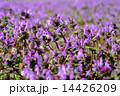 ホトケノザ 群生 満開の写真 14426209