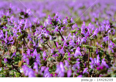 ホトケノザ 仏の座 春の草花 14426209