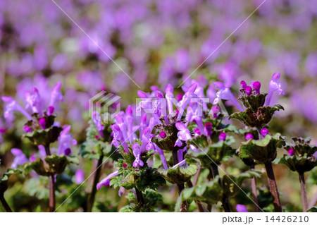 ホトケノザ 仏の座 春の草花 14426210