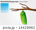 Monarch butterfly - Danaus plexippus - pupa stage 14428962