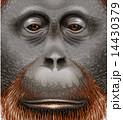 An orangutan 14430379