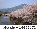 京都・高野川の桜 14438172