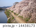 京都・鴨川の桜 14438173