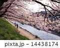 京都・鴨川の桜 14438174