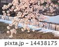 京都・鴨川の桜 14438175