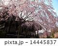 京都・妙満寺の桜 14445837
