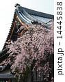 京都・妙満寺の桜 14445838
