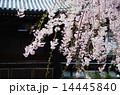 京都・妙満寺の桜 14445840