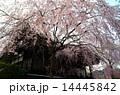 京都・妙満寺の桜 14445842