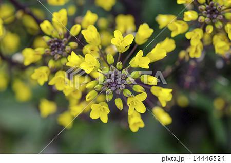 コウサイタイの花 つまみ菜 14446524