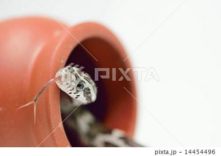 コーンスネーク(アネリスティック)舌出し 14454496
