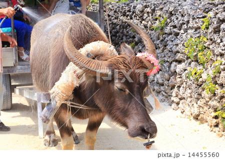 写真素材: 竹富島 車を曳く水牛