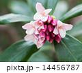 沈丁花の花と蕾と葉 14456787