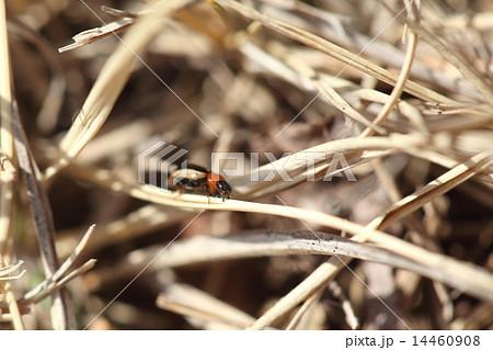 生き物 昆虫 ミスジキイロテントウ、1985年に沖縄で大発生した外来種とのこと。千葉県で見つけました 14460908
