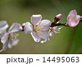 アーモンドの花 花 蕾の写真 14495063