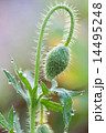 young Red bloom Iceland poppy 14495248