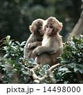 枝の上で寄り添う2匹のニホンザル 14498000