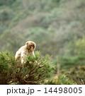 枝の上のニホンザル 14498005