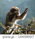 枝の上で顔を覆うニホンザル 14498007