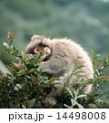 枝の上のニホンザル 14498008