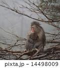 枝の上のニホンザル 14498009