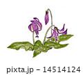 手描きイラスト「カタクリ」 14514124