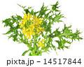 ミズナ 京菜 水菜の写真 14517844