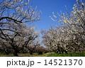 3月花 ハクバイ・バラ科351満開 14521370
