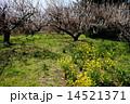 3月花 ハクバイ・バラ科352満開 14521371