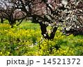 3月花 ハクバイ・バラ科353満開 14521372