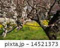 3月花 ハクバイ・バラ科354満開 14521373