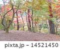 秋 もみじ 木の写真 14521450