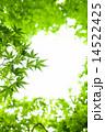 新緑のモミジ 14522425