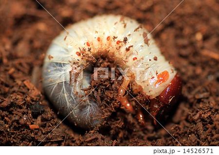 コーカサスオオカブトの幼虫 14526571