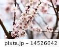 梅のアップ 14526642