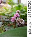 金平糖の花 カンイタドリ ポリゴナムの写真 14528720
