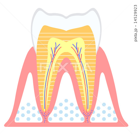 健康な歯 14529923