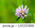 紫詰草 開花 赤詰草の写真 14535866