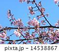 カワヅザクラ 春 花の写真 14538867