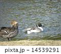 オナガガモ 番 池の写真 14539291
