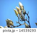 ハクモクレン 蕾 花の写真 14539293