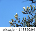 ハクモクレン 蕾 花の写真 14539294