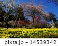 花 水仙 梅の写真 14539342